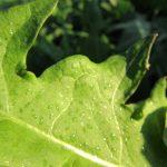 Równomierne rozprowadzenie mieszaniny na liściach mniszka lekarskiego