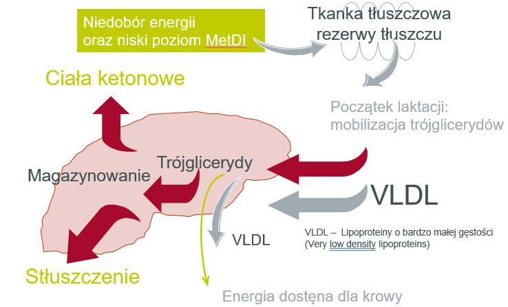 Wpływ niedoboru metioniny strawnej jelitowo na funcjonowanie wątroby