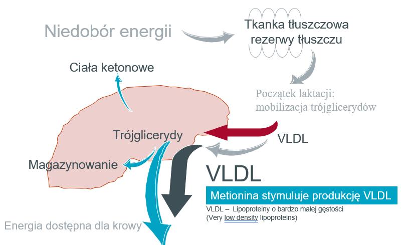 Funkcjonowanie wątroby po uzupełnieniu niedoborów metioniny strawnej jelitowo
