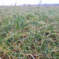 Widoczne są nowe liście gwarantujące smakowitą ruń