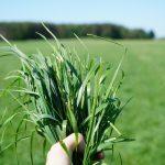 Szlachetne trawy pozwalają produkcję jakościowej sianokiszonki