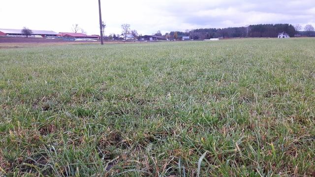 Użytek pod koniec sezonu wegetacyjnego (brak zachwaszczenia wskazuje wysoką skuteczność herbicydu)