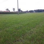 Po upływie czterech tygodni od ostatniego pokosu, trawa ma już około 20cm wysokości