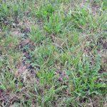 Gęsta, ciemnozielona ruń wskazuje na dobre odżywienie traw. Wysoki udział szlachetnych gatunków traw jest potwierdzeniem skuteczności podsiewu mieszanką BG-4 Milkway Universal