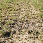 Włókowanie zniszczy wkrótce kożuch po zastosowanej gnojowicy