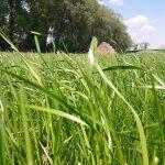 Młode trawy (życice) tydzień po pokosie - 14.05.2018 - podsiew mieszanką BG-2 Milkway Tetra