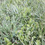 Fragment użytku gdzie nie zastosowano oprysku herbicydem oraz podsiewu (kontrola).jpg