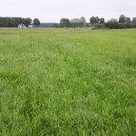Kupkówka przed trzecim pokosem (dobrze wybarwiona trawa wskazuje na prawidłowe nawożenie)