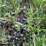 Fragment łąki który nie został opryskany herbicydem Fernando Forte 300EC i podsiany mieszanką BG-4 Milkway Universal (kontrola)