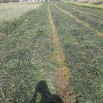30.05.2019 - trawy podsiane mieszanką BG-2 oraz koniczyną czerwoną jesienią 2018 oraz druga część wiosną 2019