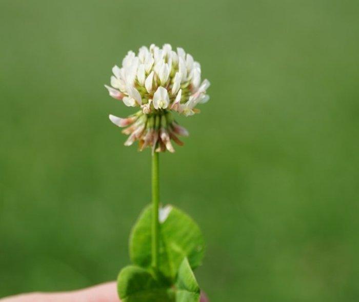 Kwiatostan koniczyny białej