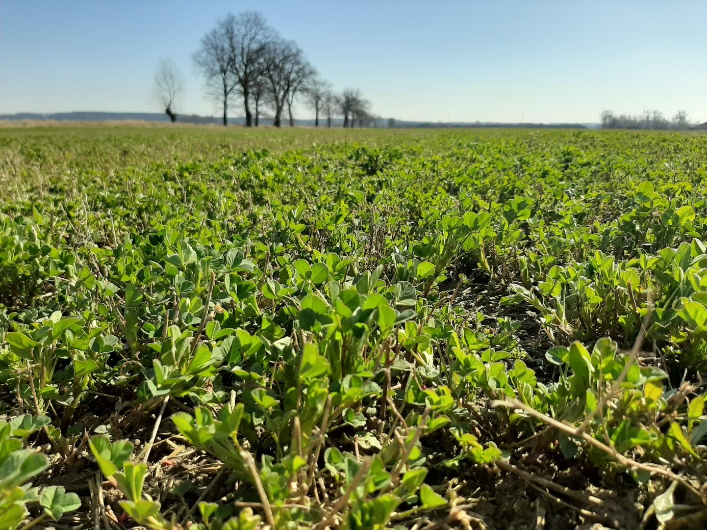 Odpowiednio prowadzony lucernik wiosną szybko zaczyna produkować cenną masę zieloną – 25.03.2020