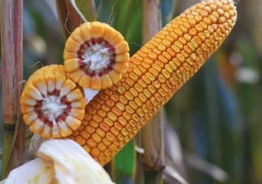 Kolby kukurydzy